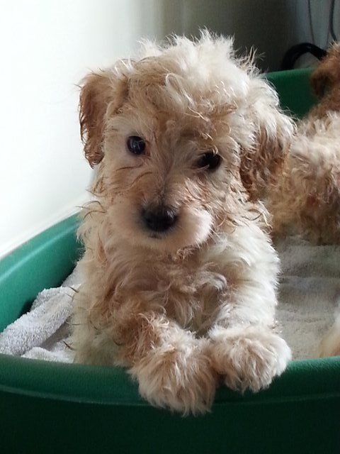 toy labradoodle | Preloved | 2nd generation toy labradoodles for sale in Thetford ...