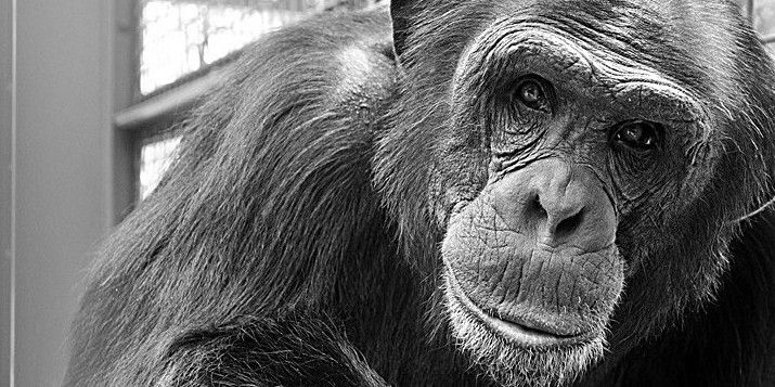 """""""The United States is the only industrialized nation that continues to use chimpanzees in invasive research."""" Wayne Pacelle, President and CEO of The Humane Society of the United States."""