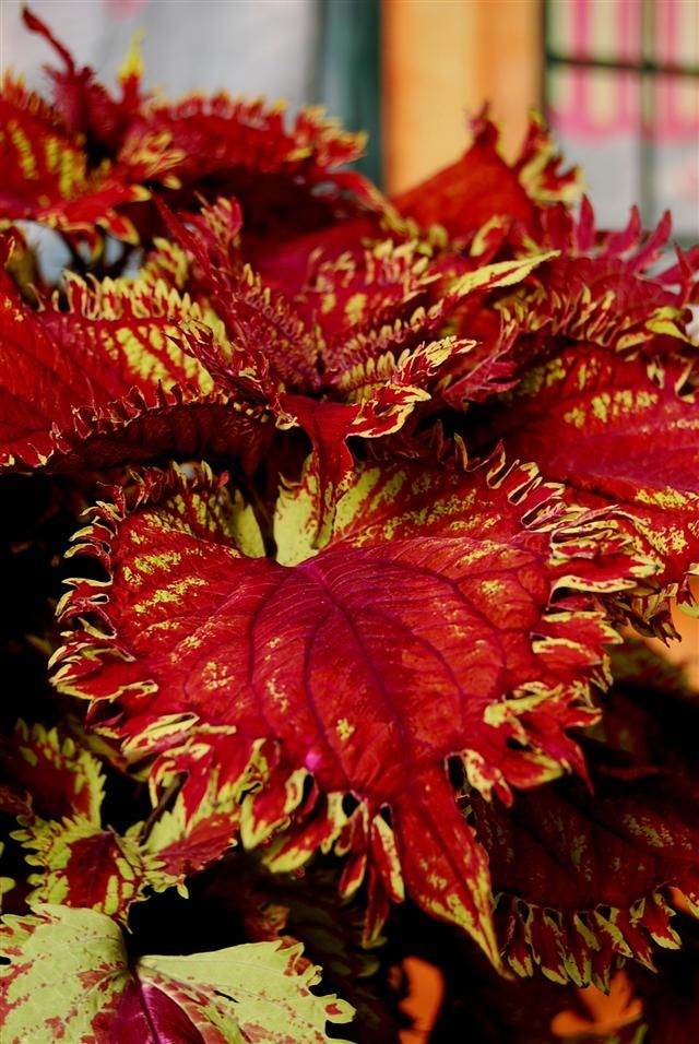 Coleus hybrida Under the Sea® King Crab