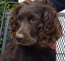 Boykin Spaniel - Wikipedia, the free encyclopedia