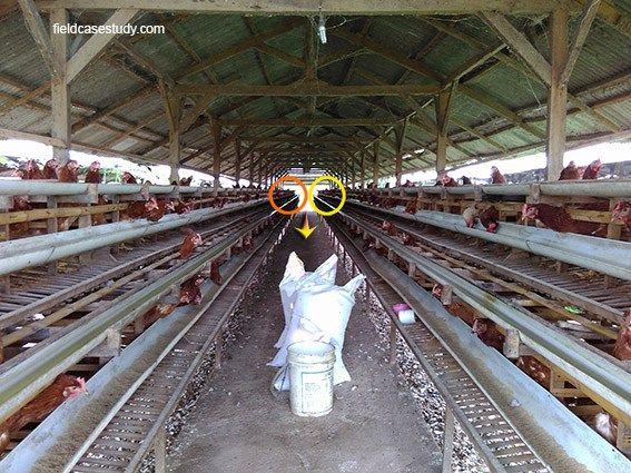 slowly spread of disease, ILT in chickens