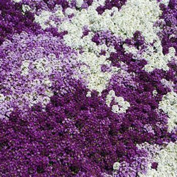 Alyssum is an old-fashioned favorite. The dainty, spreading plants are covered with clusters of small, sweetly fragrant flowers. Bees love the lavender and white blossoms. Sow Lobularia flower seed directly outdoors as edging, between stepping stones, and in rock gardens, containers, and hanging baskets. Trim to keep fresh blossoms, and to start new shoots, shake flower seed from older plants directly on the soil.