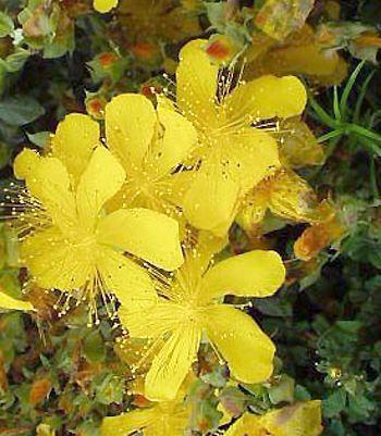Hypericum olympicum - Millepertuis du Mont Olympe - Pépinière, plantes, jardinerie, vente en ligne