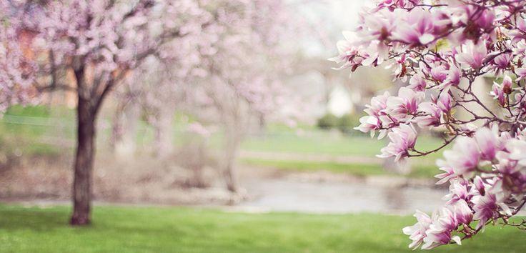 Originară din Asia, magnolia înflorește în aprilie, mai și iunie. Această plantă decorativă, de o frumusețe nobilă, se găsește atât sub forma de arbore, cât și de arbust. Înălțimea sa este între 2 și 20 de metri, în funcție de specie. Datorită superbelor ei flori, asemănătoare la ... Citește mai departe...