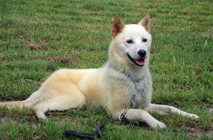 Jindo dog is a Korean native breed of hunting dog favored by many dog ...