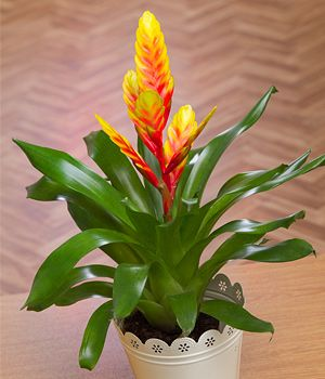 Vriesea Exotic Plant Colourful And Striking This House Has Bright Orange Flowers