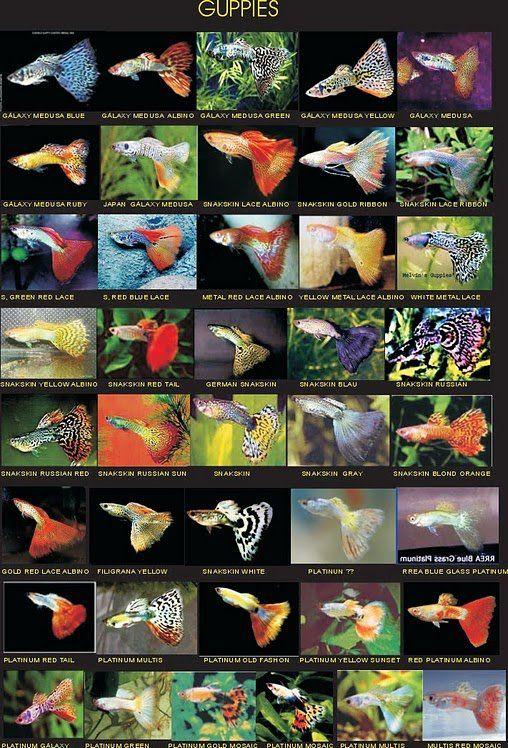 Types Of Guppies Jpg 508 215 748 Aǫᴜᴀʀɪsᴛ Pinterest