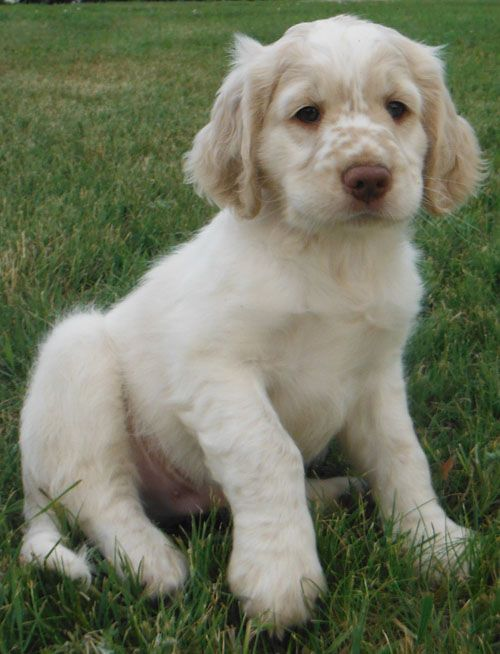 Future dog: Dakota Sport Retriever~golden/cocker spaniel mix