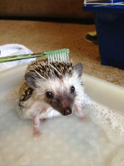 pygmy hedgehog | Tumblr