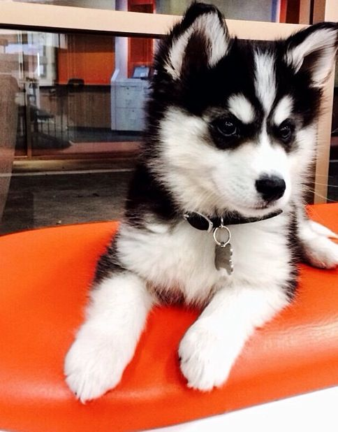 @Kelly Teske Goldsworthy Teske Goldsworthy Teske Goldsworthy Alyea pomsky dogs may be my all time favourite things in the world. I want this one.