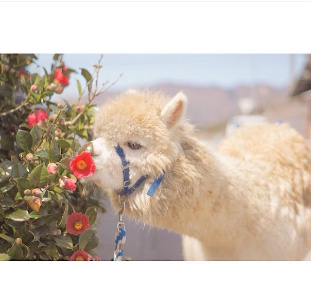 alpaca sniffing the spring flowers