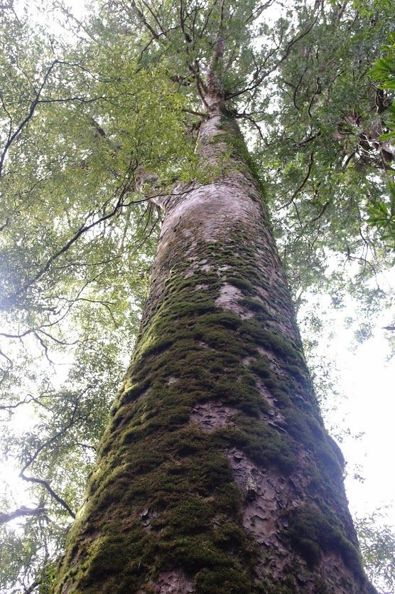 before going to the beach, we first took a walking trek that led us to three Kauri trees which I believe are native to NZ