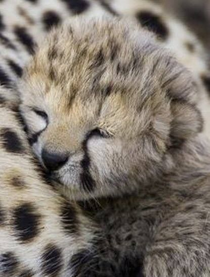 Sleeping Beauties – 29th May 2017 This cheetah cub is completely adorable don't you think?