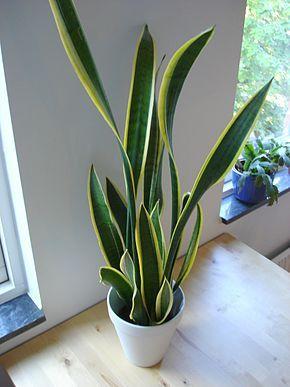 Sansevieria trifasciata (langues de belle-mère).Kamal Meattle, a présenté les résultats d'une étude qui indique que la plante produit de l'oxygène pendant la nuit. Elle y est donc considérée comme la plante des chambres à coucher.