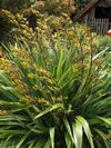 Phormium cookianum flowering in summer