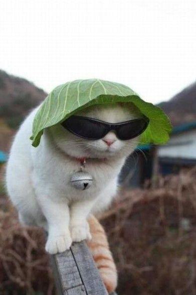 Imágenes+De+Gatos+Con+Gafas+Para+Descargar
