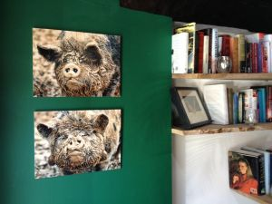Muddy Pigs   Wildlife Photography by Clare FitzGerald