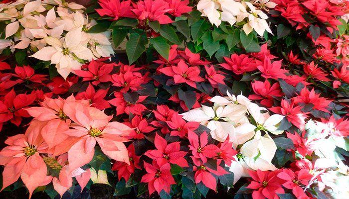 Plantas típicas de Navidad, las podemos ver ahora en todos los centros comerciales, en algunos jardines de nuestras ciudades ya han empezado adornarlos tiñéndose casi todo con el color rojo típico de estas fechas.