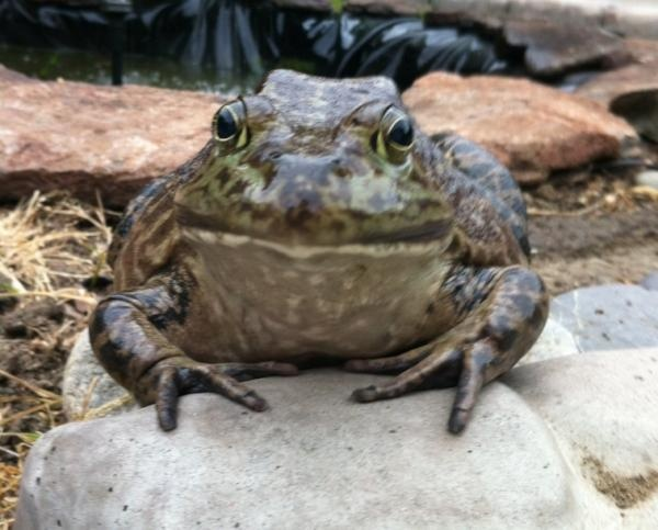Rachbee09's Frog Stryker. It takes a lot of love to love a Toad, but he's a prince in many ways. :) #petoftheweek: Rachbee09 S Frog, Frog Stryker, Prince, Pets, Lot, Frogs, Petoftheweek