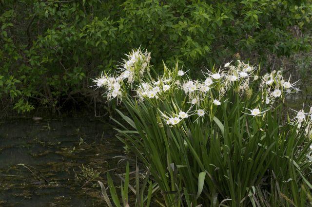 38 best strappy plants images on pinterest garden plants coastal hymenocallis liriosme spring spider lily altavistaventures Gallery