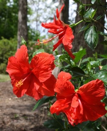 Double Red Tropical Hibiscus Chinese Hibiscus China Rose Hawaiian