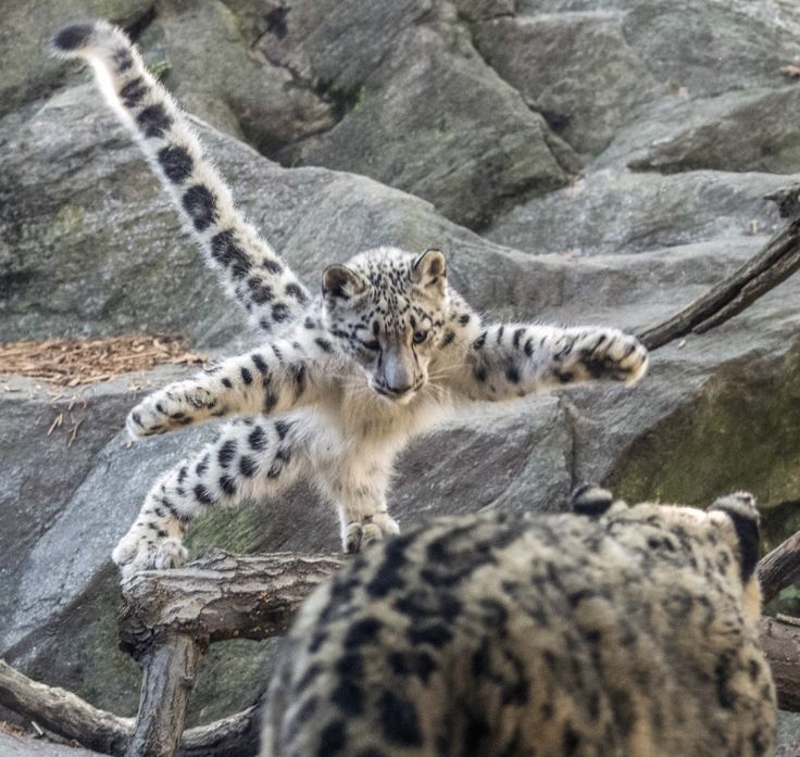 This baby Snow Leopard at the Bronx Zoo practices her pouncing skills, with her mom K2 as the target. See VIDEO of the cub at play and learn how zoos are saving rare animals on ZooBorns.com and at http://www.zooborns.com/zooborns/2017/10/attack-of-the-snow-leopard-cub.html