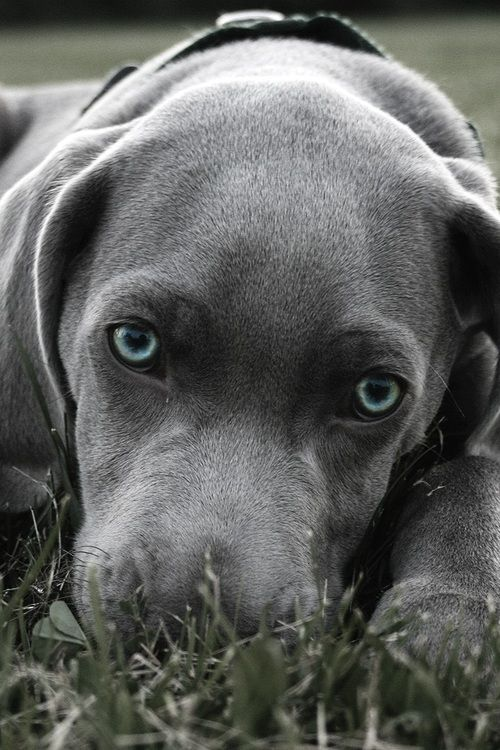 Silver Labrador Retriever Puppy Dog Puppies Dogs Lab