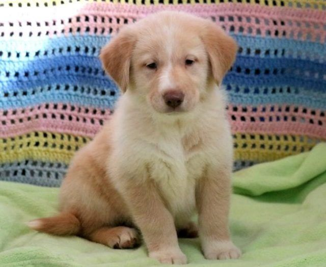 Goberian Puppies For Sale In 2020 Puppy Breeds Puppy Adoption Puppies For Sale