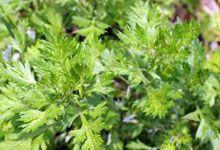 #MELLIFERES ARMOISE COMMUNE  floraison : juin-août #vivaces / superbe feuillage découpé / herbe aux cent goûts, herbe de la Saint-Jean Janique, armoise citronnelle, artémise, herbe royale, remise.