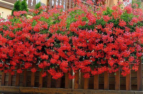 Gerani rossi al balcone. | Melisenda2010 | Flickr