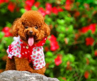 Best Cute Puppy Names For Poodle Best Cute Puppy Names Dogs