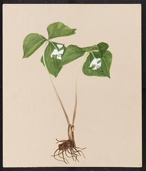 From the collection at Andersen Horticultural Library. Emma Roberts (1859-1948), a watercolorist from Minneapolis, founded the Handicraft Guild, and was supervisor of drawing for Minneapolis Public Schools. Emma painted Trillium cernuum (Nodding Trillium) in Minneapolis. It is dated June 7, 1883.