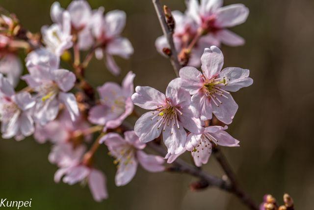早春の大船植物園では固有種の玉縄桜などの早咲き桜が満開 : 珠玉の空間