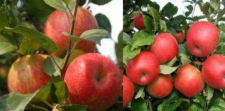 Care and Growing Honeycrisp Apples | How to Grow Honeycrisp Apple Tree