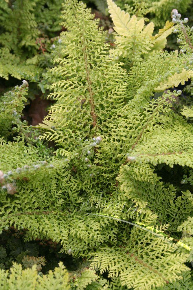 Polystichum ~ Plumosum Densum 'Soft Shield Fern'