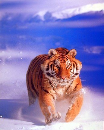 Absolutely stunning that is what you and your guest will be able to say after seeing this beautiful Siberian tiger art print poster. This poster displays the image of Siberian tiger running toward something in a snow field is sure to catch lot of attention. Siberian Tigers are the largest of the tiger species and can grow up to 13 feet in length and weigh up to 700 lbs. This poster is surely transforming the look of an ordinary room into a beautiful, attractive space.