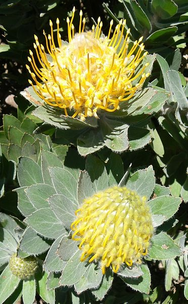 Leucospermum conocarpodendron - Table Mountain  conocarpodendron is endangered and confined to a few spots on the granite slopes of Table Mountain, Cape Town, South Africa.
