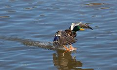 Ducks Unlimited Prints - Mallard Landing Prints by Sam Amato