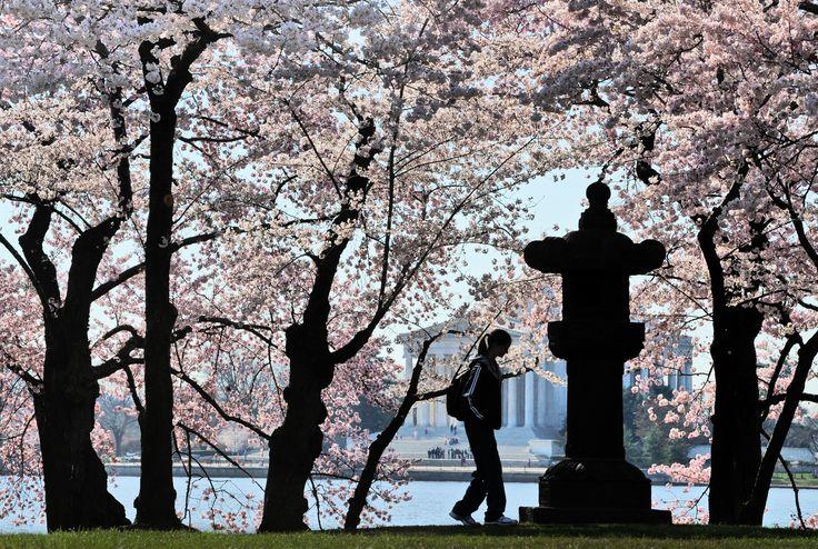 Cherry Blossom Festival creates it own traffic season