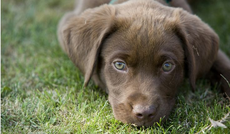 Labrador Names: Hundreds of Great Ideas to Help You Name Your Dog - The Labrador Site