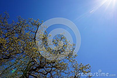 Tree on a blue sky background during spring