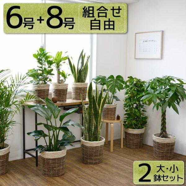 ツートーン 鉢カバー付き 2鉢セット 大きさ違いの植物 お得なセット 選べる2サイズ まとめ買い 8号 6号鉢植物 風水 植物 ガジュマル 観葉植物