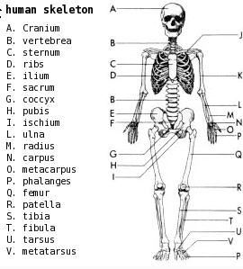 The 25+ best Human skeleton labeled ideas on Pinterest