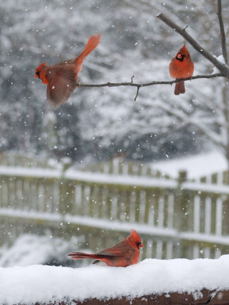 24 best images about birdies on pinterest copper in - Pictures of cardinals in snow ...