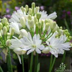 Agapanthus 'Double Diamond' is new for 2015. Our smallest Agapanthus yet, perfect for borders and containers.