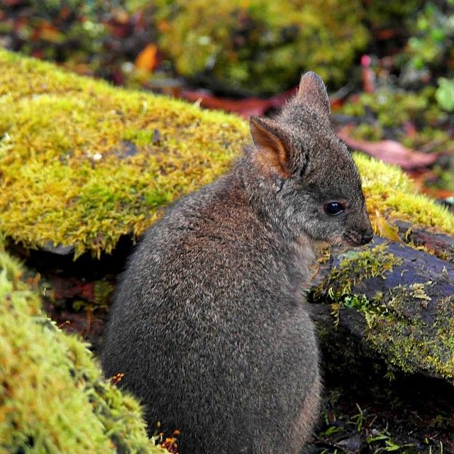 Baby Pademelon in Discover Tasmania via http://buff.ly/1J7qruM?utm_content=buffer86f7a&utm_medium=social&utm_source=pinterest.com&utm_campaign=buffer #travel #wildlife