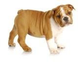 милый щенок - щенок английского бульдога