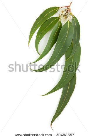 Gum leaves and blossoms make a useful border, isolated on white. by Robyn Mackenzie, via ShutterStock