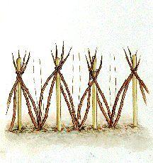 Palissage des framboisiers : les méthodes