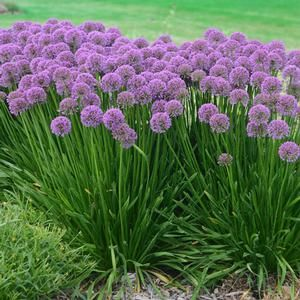 """Millenium #Allium explodes in late summer with long-lasting, beautiful #purple blooms. This hardy #perennial is easy to care for, and will fill your #garden with color. While in bloom, you will be treated to deep #lavender #flowers atop tall stems. The 1.5"""" round clusters of purple blooms will seem to hover over the foliage, like little fireworks exploding over long waiving blades of grass. Your Millenium Allium is a perfect for butterfly #gardens."""